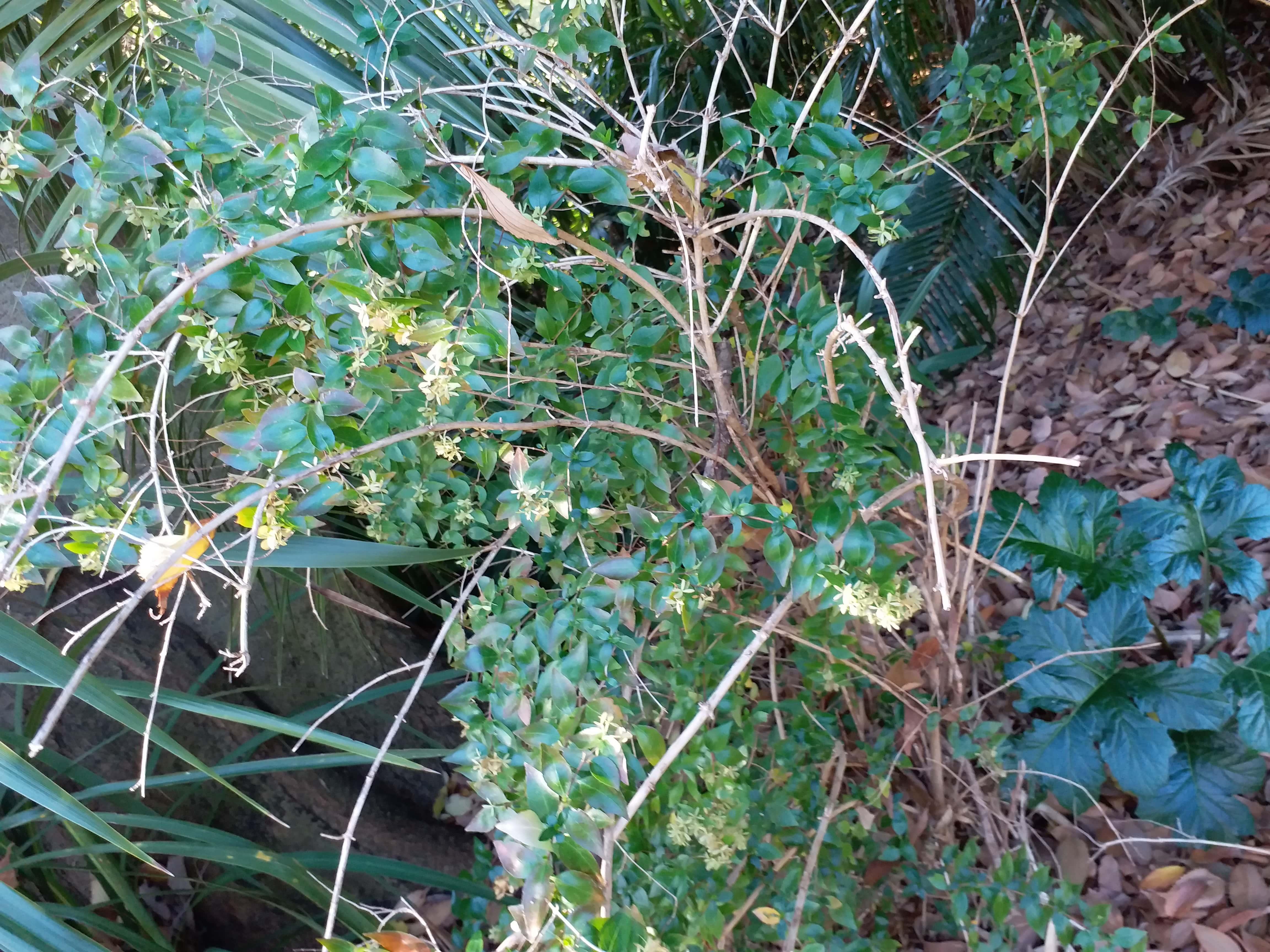 Abelia X Grandiflora (Glossy Abelia)