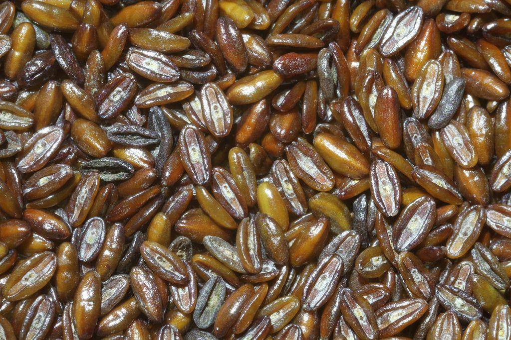 Plantago Ovata Seeds